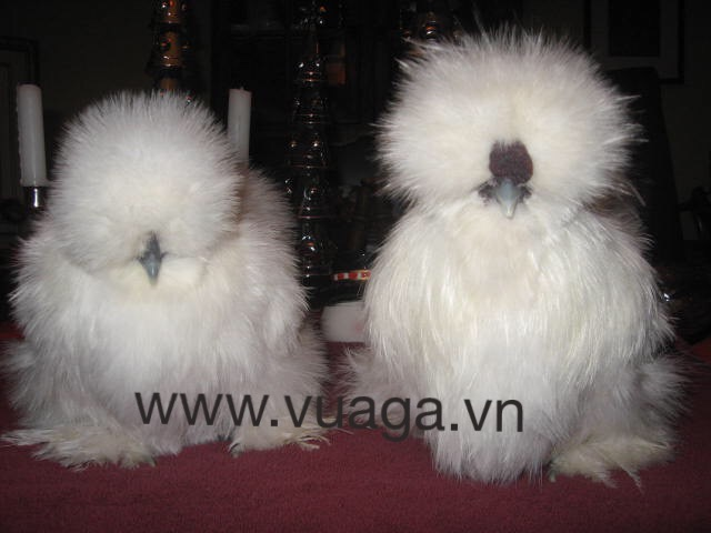 Ga silkie long xu